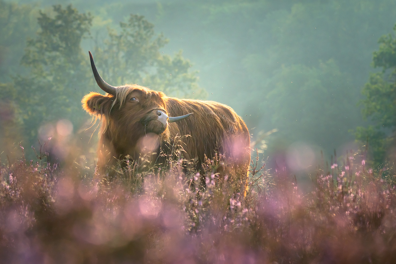 Scratchy the Highlander in a cloud of flowers